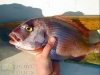 Common Sea Bream