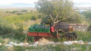 Kuzmanic winery harvest opcija tours