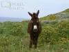 Donkey on Palagruza island